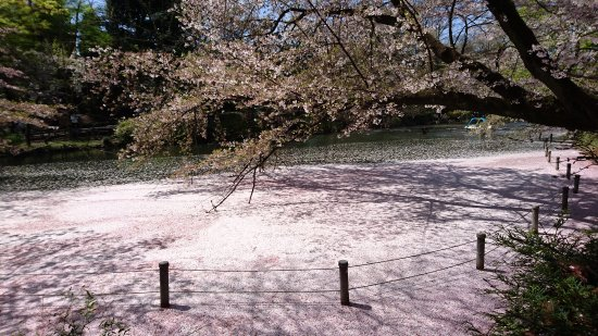 Musashino, Japan: Lake covered in sakura
