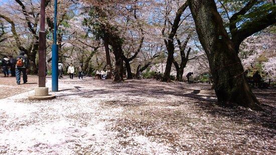 Musashino, Japan: The pink paths covered in the sakura