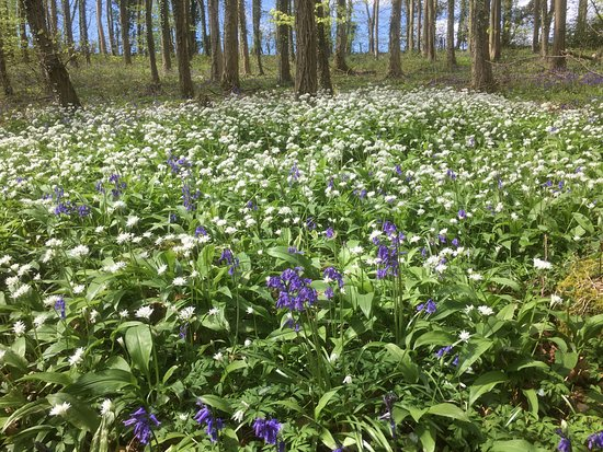 Chepstow, UK: Bluebells and wild garlic in bloom