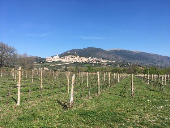 Azienda Agraria Saio: viñedos, de fondo: Asis