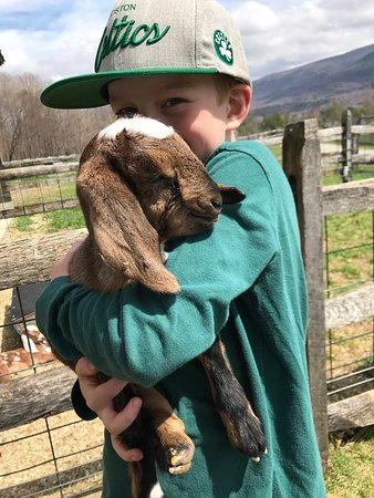 Manchester, VT: Lots of baby goats just born!