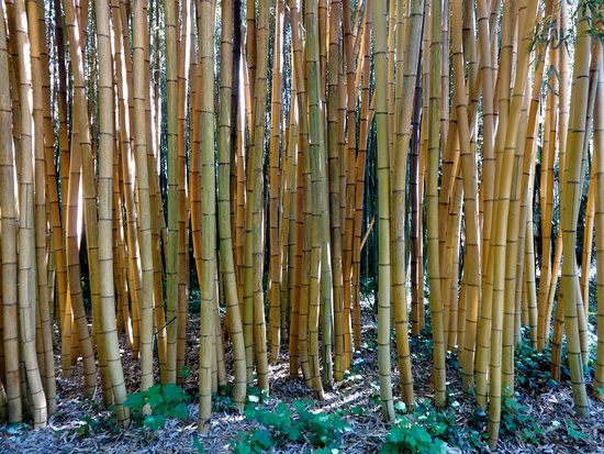 Generargues, Γαλλία: Bambous