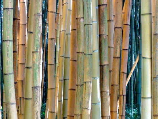 Generargues, Γαλλία: Bambous gros plan