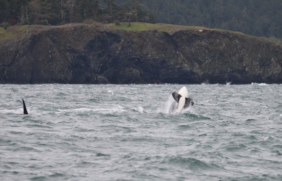 Island Adventures: Baby orca celebrating