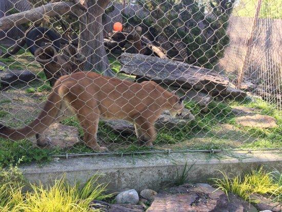 David Traylor Zoo of Emporia: lioness