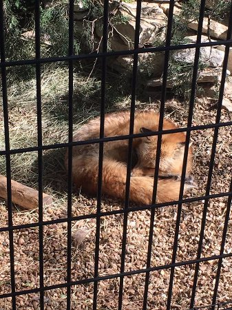 Emporia, KS: red fox