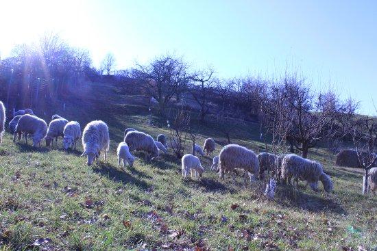 Marano sul Panaro, İtalya: pecorelle al pascolo