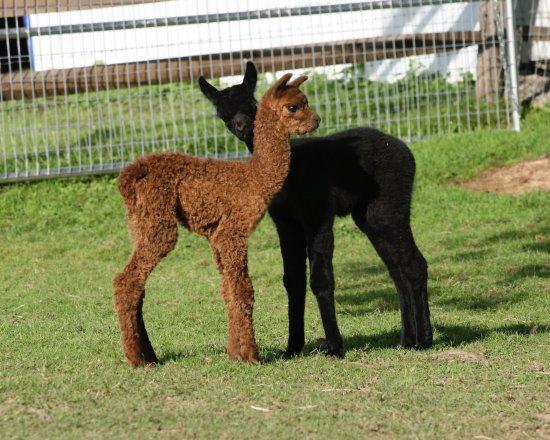 Faraway Farm Alpacas