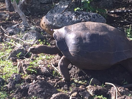 Puerto Baquerizo Moreno, Ecuador: giant turtle (camp tour)