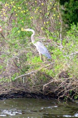 Millville, Nueva Jersey: Great Blue Heron
