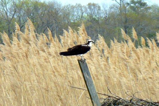 Millville, Nueva Jersey: Osprey