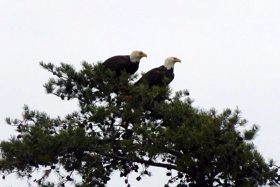 Millville, NJ: American Bald Eagles