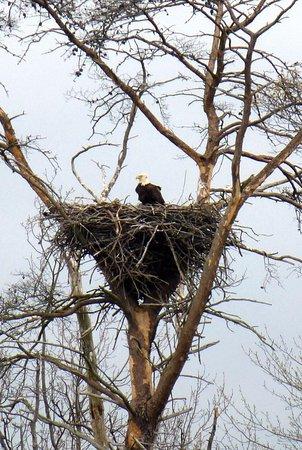 Millville, Nueva Jersey: Bald Eagle in Nest