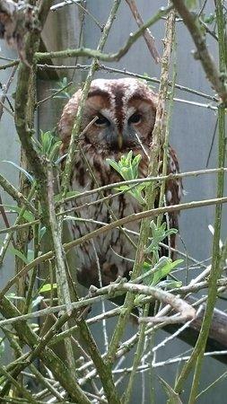 Ringwood, UK: Tawny Owl.