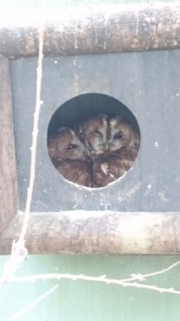 Ringwood, UK: Two Tawny Owls cuddling up.