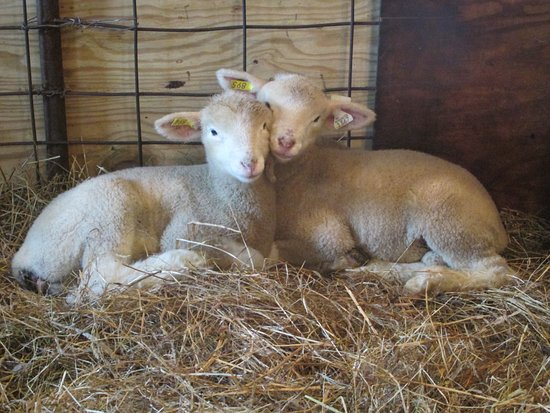 Canton, Estado de Nueva York: Twin Dorset lambs.  Visit the barn to see them.