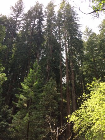 Mill Valley, CA: Sequoia giganti