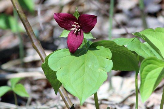 Burnsville, Carolina del Norte: Wakerobin Trillium