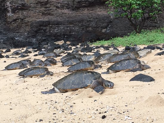Eleele, ฮาวาย: Up close and personal with the turtles. We even got to see a few crawl into the water and take o