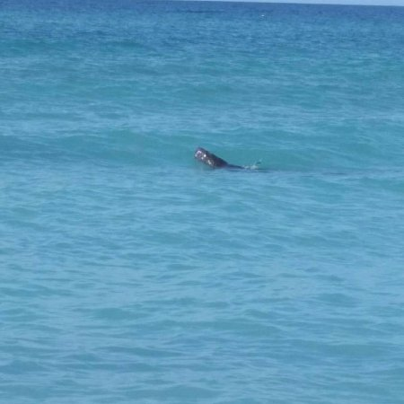 The Diplomat Condominium Beach Resort: Saw 3 manatees right off our beach! Walked with them all the way till they were gone.