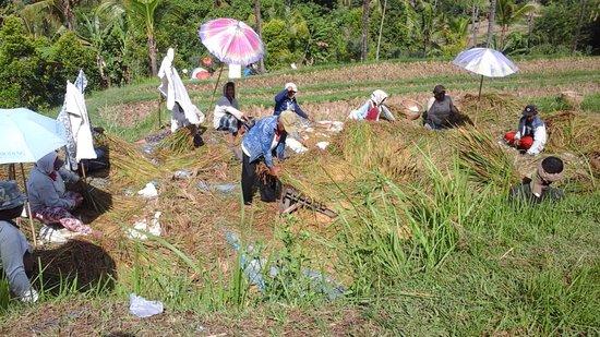 Buleleng District, Indonésia: Lumbung Sari Rice Terraces Trek