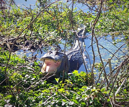 Kissimmee, FL: This mama gator was not too excited to see us.