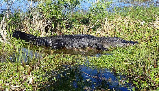 Kissimmee, FL: This alligator was relaxing in the sun.