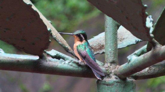 Playa Samara, Costa Rica: Humming bird posing