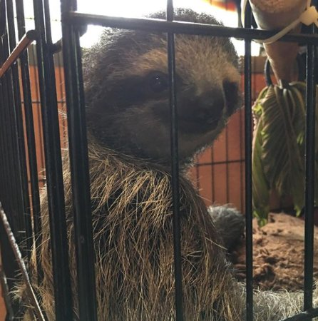 Sloth Sanctuary of Costa Rica: Spirit - in the NICU, we got to feed her leaves through the cage