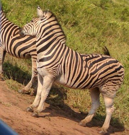 Zululand, Afrika Selatan: Zebras Near the road