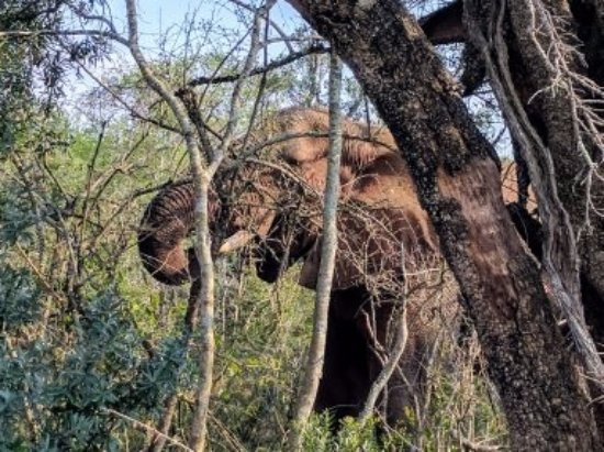 Zululand, Afrika Selatan: Elephants hiding in the trees