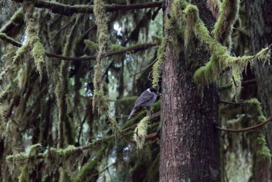 Sol Duc Campground: these birds have no fear of humans. Look out for your snacks!