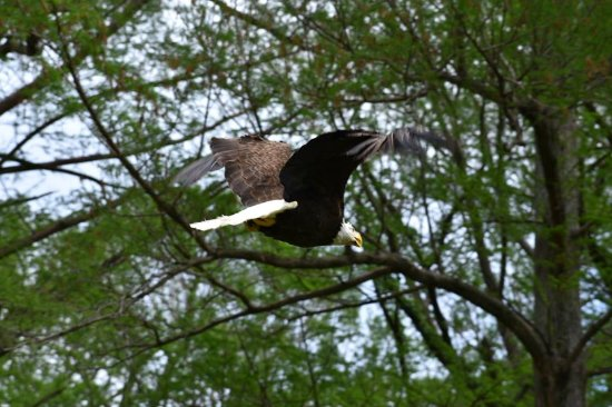 Tiptonville, TN: Eagle flying away after being relased