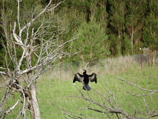Belgrave, Australia: Australian Darter amongst the trees