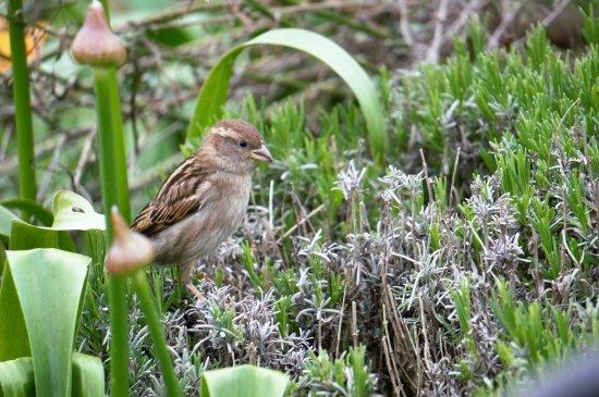 Landford, UK: friendly sparrows