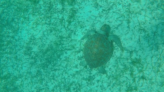 Oyster Pond, St. Maarten: Sea turtle munching on sea grass