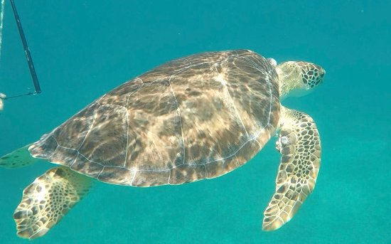 Oyster Pond, St. Maarten-St. Martin: Snorkeling with sea turtles! (Get a GoPro!)