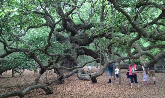 Johns Island, Carolina Selatan: Angel oak, angle 1