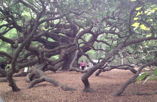 Johns Island, Carolina Selatan: Angel oak, angle 2
