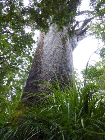 Waipoua Forest, Yeni Zelanda: Tane Mahuta from its base.