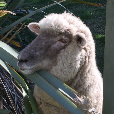 Historic Sennen House Boutique Accommodation: Jerry the pet Sheep