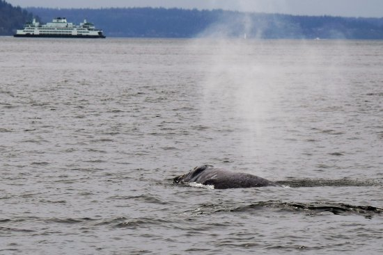 Puget Sound Express - Day Trips: A gray whale breaching with a ferry in the background.