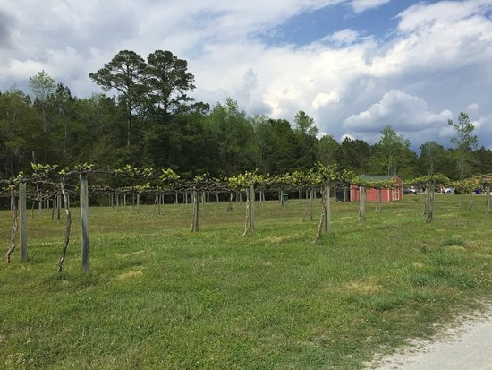 Ocean Isle Beach, Carolina do Norte: Rows of muscadine grapevines at Silver Coast.
