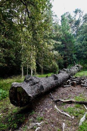 Hogsback, Южная Африка: árboles enormes, caídos por accion del tiempo