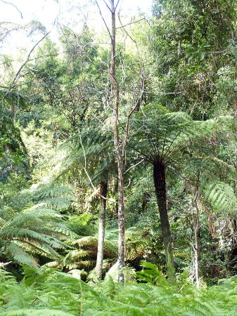 Mt Wilson, Austrália: Cathedral of Ferns