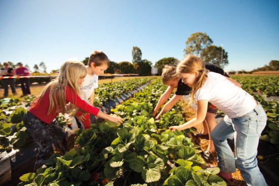 Bundaberg, Australien: Pick strawberries fresh from the farm
