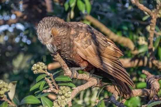 Paraparaumu, New Zealand: New Zealand Kaka