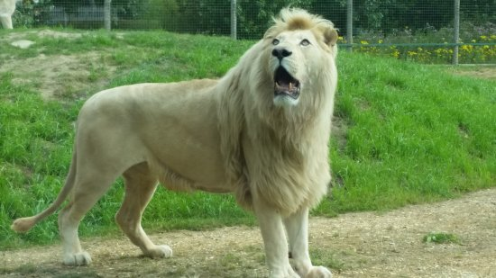 Smarden, UK: White lion