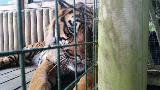 Smarden, UK: You can get really close to a Tiger
