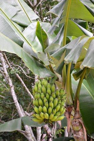 Chalong, Thailand: Bananier
